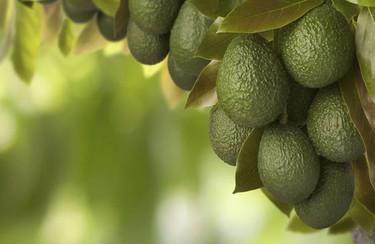 El aguacate, ese maravilloso fruto que exportamos al mundo.