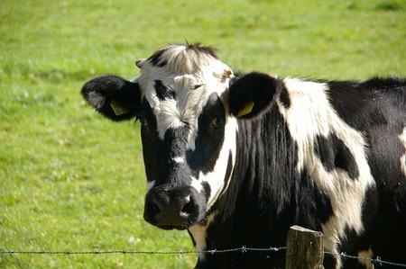 Cow 234835 960 720