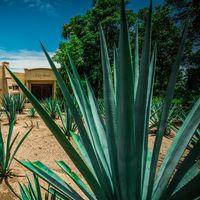 Encontraron cuatro nuevas especies de agave en México, pero algunas ya están amenazadas por la industria del mezcal
