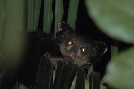 Este es el primate con más dedos: tiene doce (y es muy feo)