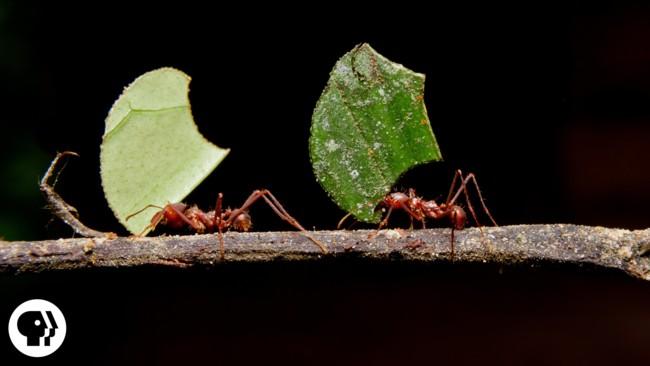 La hipnótica coordinación de estas hormigas trasladando hojas frescas a sus granjas de hongos