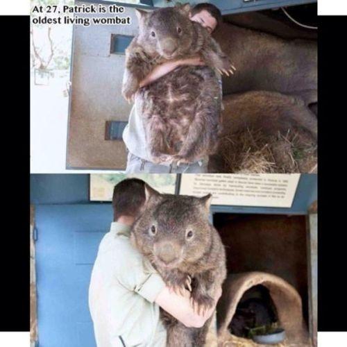 """[Vídeo] Vombátido, el """"ratón"""" gigante"""