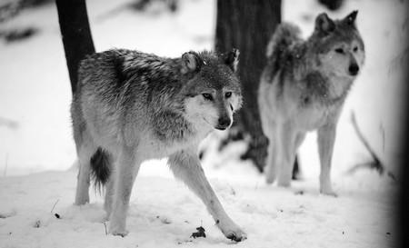 Aquella vez en que las tropas alemanas y rusas pactaron una tregua para que no les comiesen los lobos