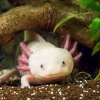 El genoma del axolotl, anfibio mexicano, es la clave para regenerar extremidades en humanos, y ya ha sido descifrado