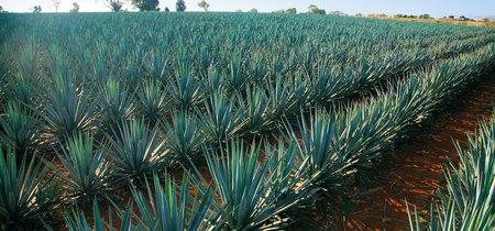 En Guadalajara, México experimentan con fibra de agave para crear material de construcción