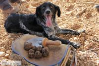 Cómo buscar trufas con un perro adiestrado