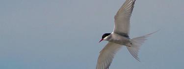 Esta es la migración de un ave más larga jamás registrada