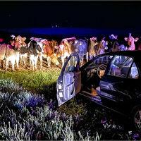 El día que un rebaño de vacas ayudó a la policía a acabar con una persecución en coche de más de 20 km