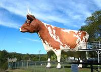 Gran vaca, Nambour
