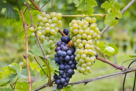 Grapes 2730643 1280