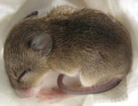 Mientras dormían, a estos ratones les han modificado sus recuerdos y ha funcionado