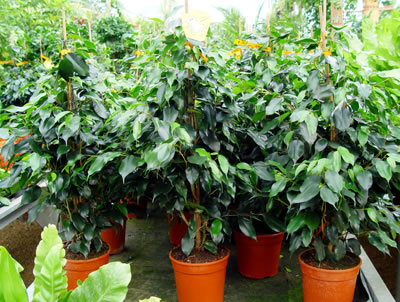 Plantas de interior ii ficus Jacinto planta de interior o exterior