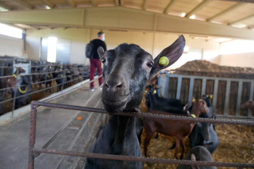 Las cabras vuelven a los Cameros (o cómo el queso está ayudando a repoblar una de las comarcas más abandonadas de España)