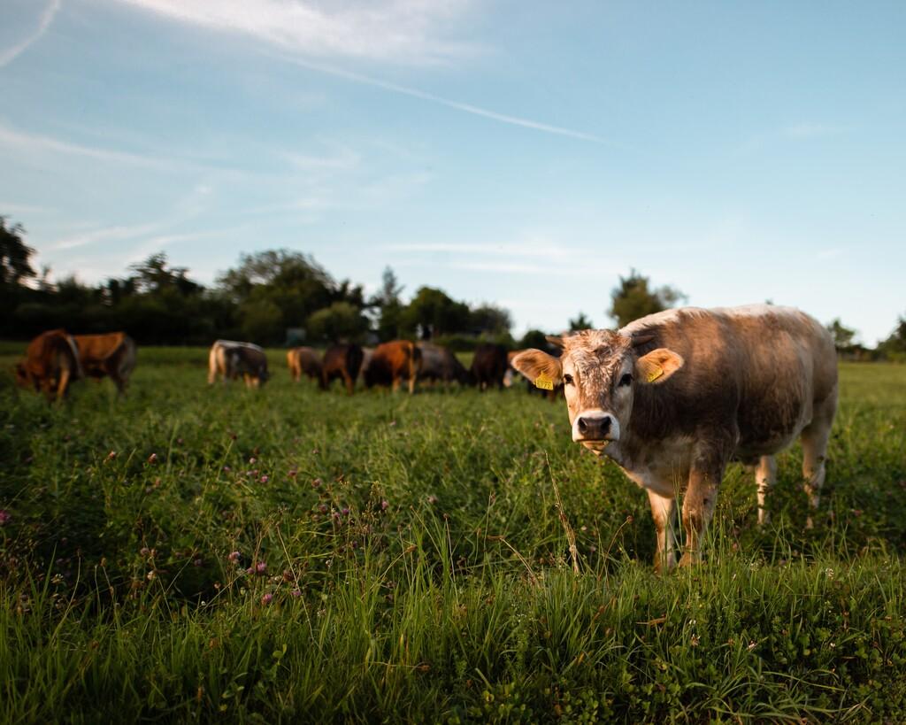 Esta mascarilla inteligente es para vacas y promete filtrar el metano que provocan sus eructos