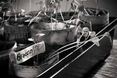Los brotes de brócoli ¿alimento desintoxicante?