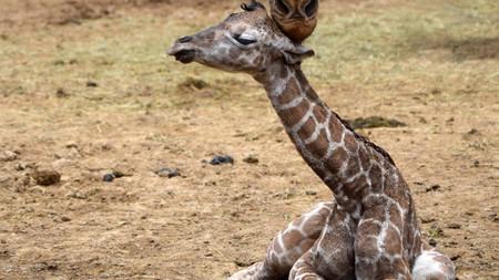 Nace la segunda jirafa del 2019 en el Zoológico de Chapultepec en CDMX, y tú podrás ponerle nombre
