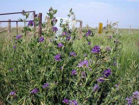 La alfalfa, un potente depurativo poco conocido