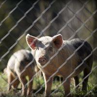 Drones para extender la peste porcina: lo último de las mafias chinas para encarecer la carne