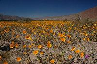 El desierto del Valle de la Muerte en flor