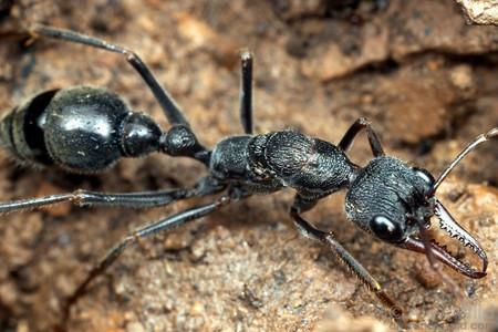 La hormiga más peligrosa del mundo ha matado varias personas desde 1936