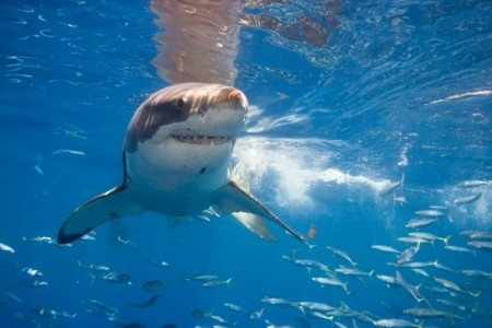 Los tiburones australianos te avisarán al móvil si andan cerca