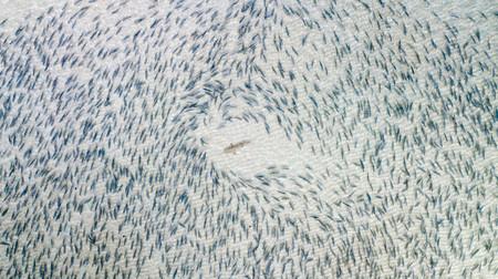 'Blacktip Shark', de Adam Barker (EE.UU)