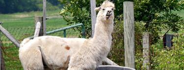 Los anticuerpos producidos por la alpaca podrían darnos un nuevo tratamiento contra el cáncer