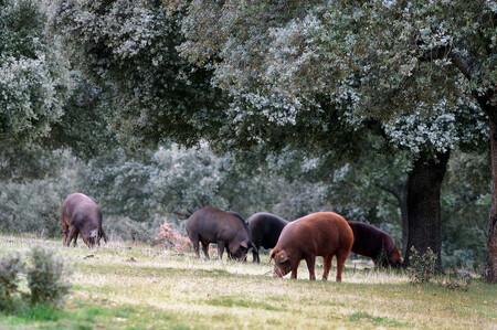 Siete razas de cerdo españolas tan buenas (o casi) como el ibérico: del rubio dorado al porc negre