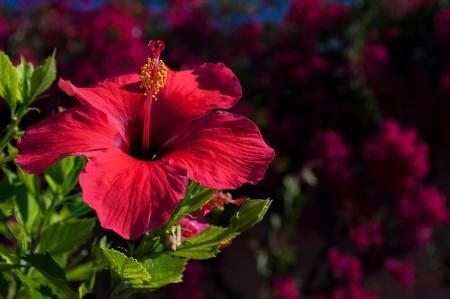Hibiscus-flor