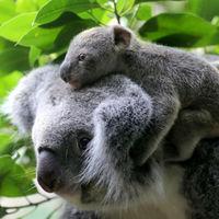 La situación del koala no es tan dramática, pero los incendios de Australia sí son una catástrofe ambiental