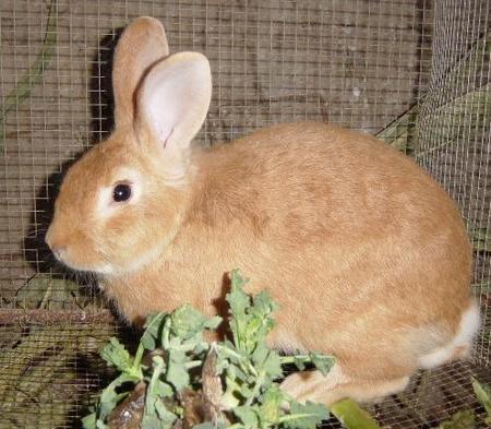 Singularidades extraordinarias de animales ordinarios (XV): el conejo