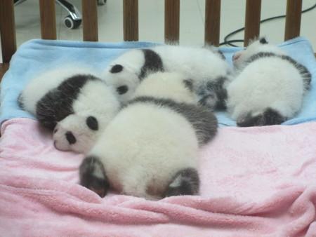 1280px Baby Pandas