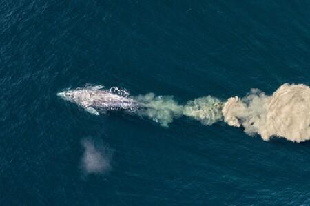 56704 - Mark Carwardine - Grey (or gray) whale feeding