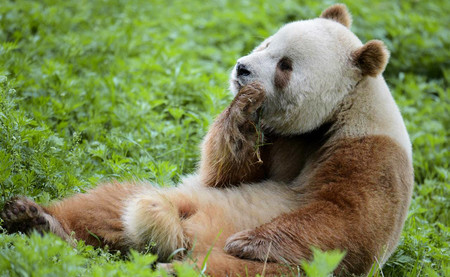 El único panda marrón del mundo ha intentado perder su virginidad y ha fallado miserablemente