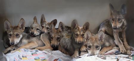 Nacen en la Ciudad de México siete cachorros de lobo mexicano, una de las especies en peligro de extinción del país