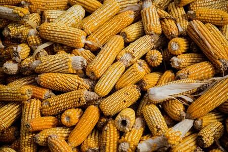 Buscará México importar menos maíz genéticamente modificado y libre de glifosato