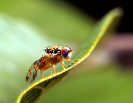 Male Medfly Close Up Insect