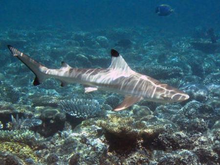 Cómo reaccionar al ver un tiburón mientras buceas