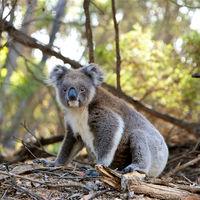"""Quedan tan pocos koalas que algunos expertos ya los consideran """"funcionalmente extintos"""""""