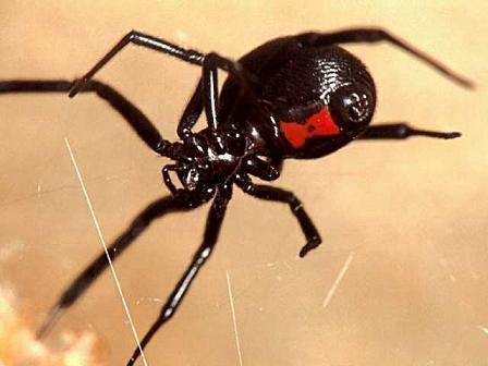Un potente anticonceptivo, el veneno de la araña Viuda Negra