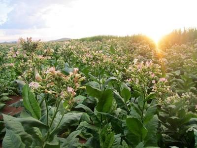 Plantas de tabaco podrían utilizarse para producir biocombustibles