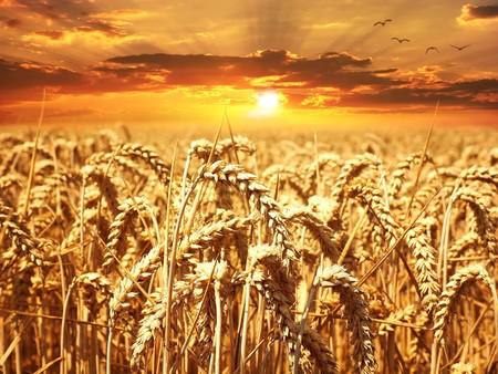 11 beneficios del germen de trigo y sus propiedades