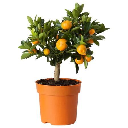 Citrus Planta Calamondin 0562953 Pe663620 S5