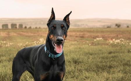 España prohíbe al fin cortar las orejas y las colas de las mascotas por razones estéticas