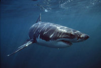 Tiburones en playas de Estados Unidos
