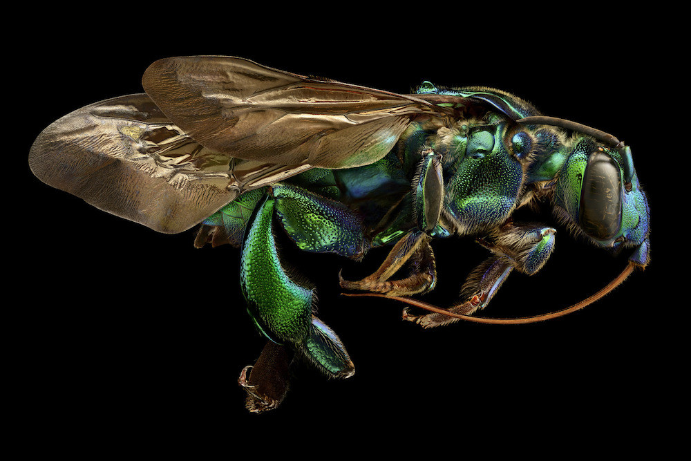 13 Orchid Cuckoo Bee Side View
