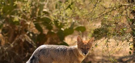 Después de 13 años, reportan avistamiento de zorra gris en Ciudad Universitaria (UNAM)