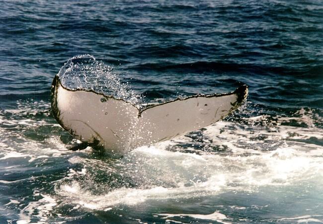 ballena-jorobada-cola