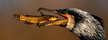 El desayuno de un cormorán y otras espectaculares fotos finalistas del concurso Bird Photographer of the Year 2021