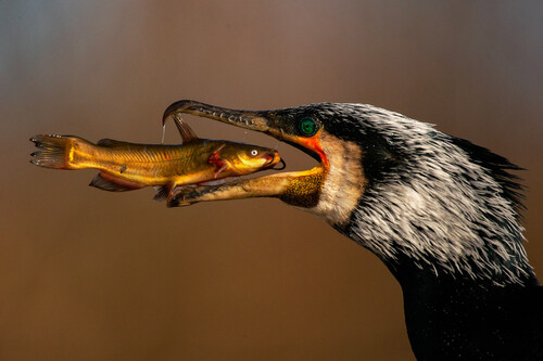 El desayuno de un cormorán y otras espectaculares fotos finalistas del concurso Bird Photographer of the Year 2021